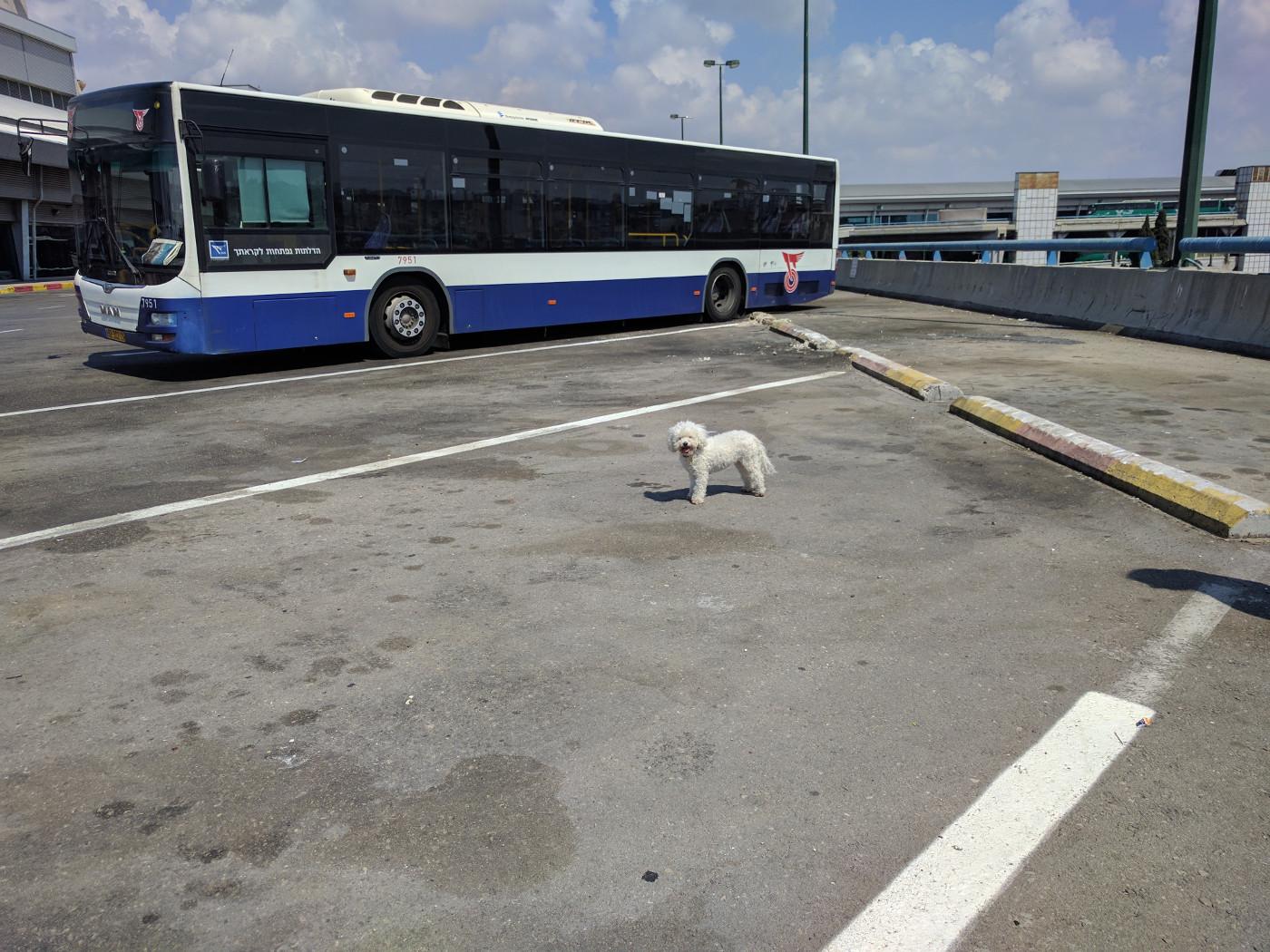 כלב לבן קטן ליד אוטובוס מאן של חברת דן.